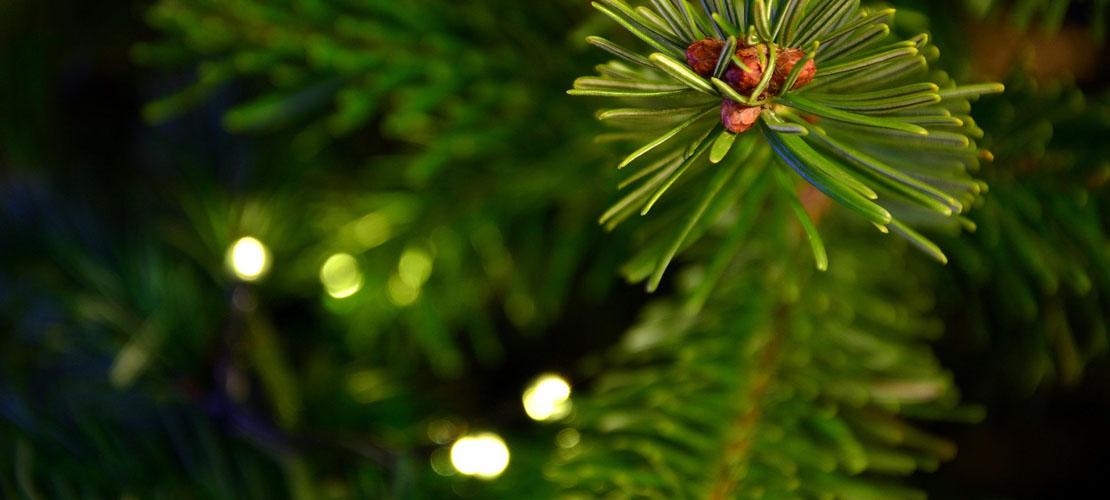 Echte Weihnachtsbäume