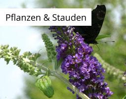 Kleine Grafik zum Thema Pflanzen mit einem schwarzen Schmetterling auf einem Sommerflieder sitzend