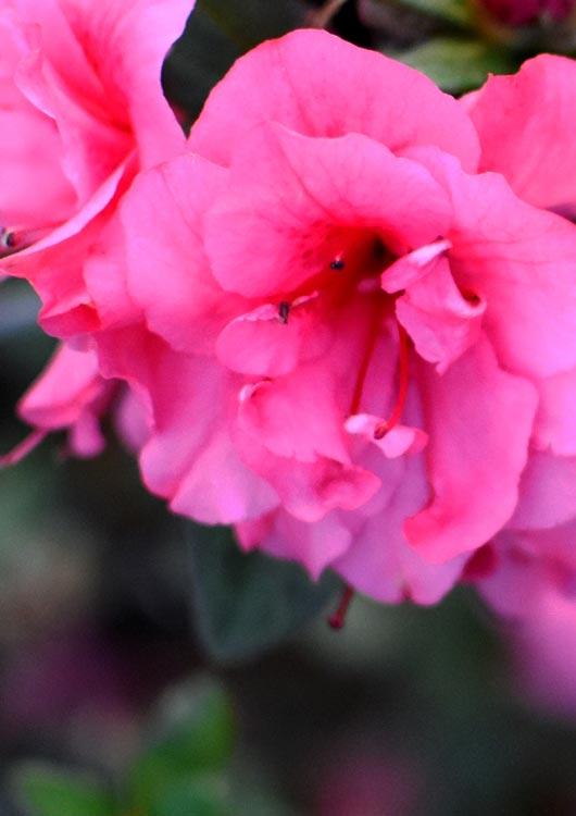 Vibes-Kachel zum Thema Rhododendron mit einer rosanen Blüte einer Rhododendron-Hecke