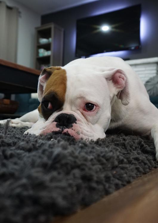 Hund liegt im Wohnzimmer gemütlich auf einem dunkelgrauen Hochflorteppich